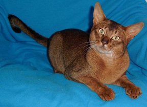 Abyssinian cat nz