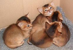 Tawny Abyssinian Cat